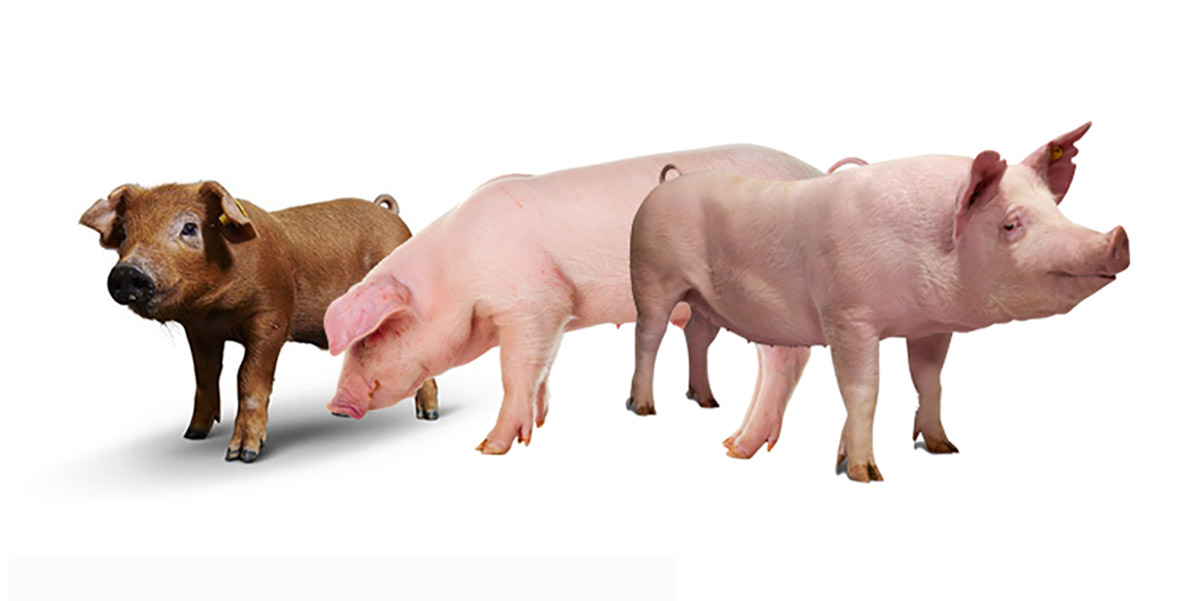 Pig semen for sale