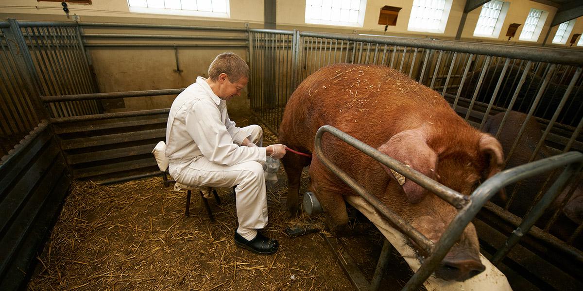 swine genetics