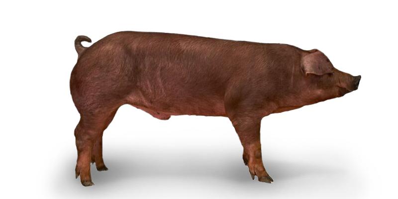 Danish Duroc Pig